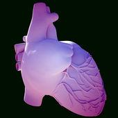 Model of human heart — Stock Photo
