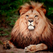 Stock Photo: Lion sitting on the ground