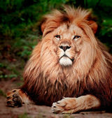 Lion sitting on the ground — Stock Photo