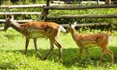 Cute Deer — Stock Photo
