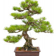 Bonsai tree - Stock Photo