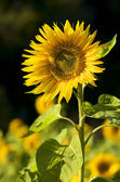 Sun flower in morning sun — Stock Photo