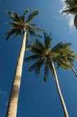 Coconut trees on mak island — Stock Photo