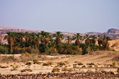 Date palm trees in an oasis of the Arabian desert — Stock Photo