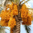 Ripe dates on a palm tree — Stock Photo #6121389