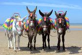 Donkeys at a beach resort — Stock Photo