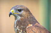Portrait of a hawk — Stok fotoğraf