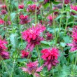 Pink flowers in a garden — Stock Photo