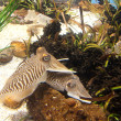 Cuttlefish close up. Underwater aquatic life — Stock Photo #6158820