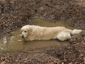Dirty Golden retriever — Stock Photo