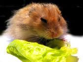 Sevimli hamster — Stok fotoğraf
