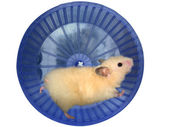 Hamster in a wheel — Stock Photo