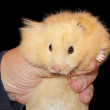 Hand with a hamster — Stock Photo