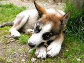 Cucciolo husky — Foto Stock