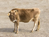 Cow close up — Stockfoto