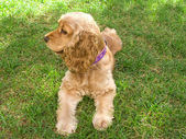 Cute american young Cocker Spaniel — Stock Photo