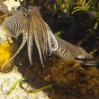 Cuttlefish close up. Underwater aquatic life — Stock Photo #6357674