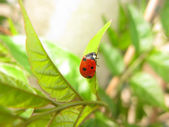 Ladybug close-up — Stock Photo