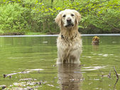 Golden retriever playing in the water — Stock Photo