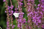 Witte Vlinder — Стоковое фото