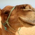 Great camel headshot — Stock Photo #6213828
