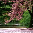 Cherry Blossom tree on a parc - Tokyo — Stock Photo #6214067