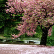Cherry Blossom tree on a parc - Tokyo — Stock Photo #6214072