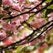 Cherry Blossom tree detail - Stock Photo