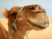 Great camel headshot — Stock Photo