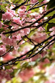 Cherry Blossom tree detail — Stock Photo