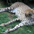 Cheetah — Stock Photo #6303396