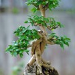 Stock Photo: Bonsai Tree and mini landscaping