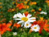 Manzanilla en un prado. — Foto de Stock