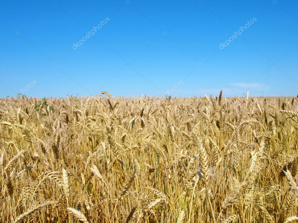 Wheaten field and the blue sky.   — Stock Photo #6142552