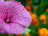 Pink flower — Zdjęcie stockowe