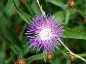 Květ fialový stepní — Stock fotografie