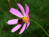 Bumblebee a pollinating pink flower — Stock Photo