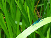 Izumrudno-dark blue dragonfly — Stock Photo