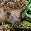 Stock Photo: Muzzle of a hedgehog