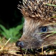 Muzzle of a hedgehog — Stock Photo