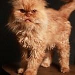 Persian cat — Stock Photo #6158749