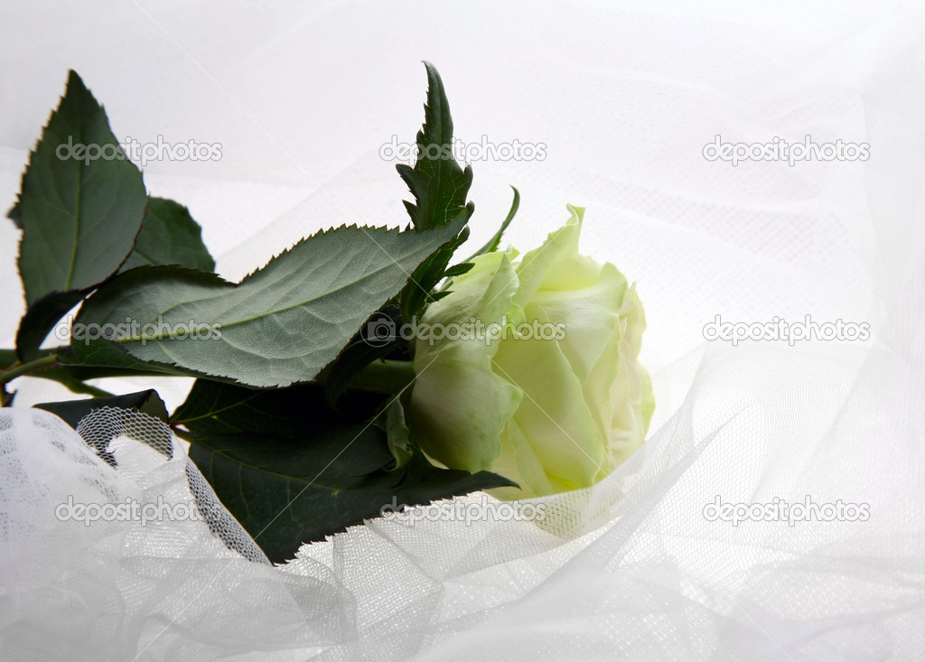 Greenish rose on a white fabric — Stock Photo #6169631