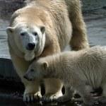 Family of polar bears - 1 — Stock Photo
