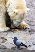 Bear and pigeon — Stock Photo