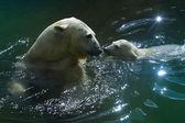 Family of polar bears — Stock Photo