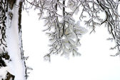 Branches in snow — Stock Photo