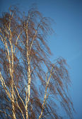 Birch — Stock Photo