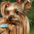 Royalty-Free Stock Photo: Yorkshire terrier