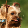Yorkshire terrier — Stock Photo #6185071