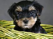Yorkshire terrier — Foto de Stock